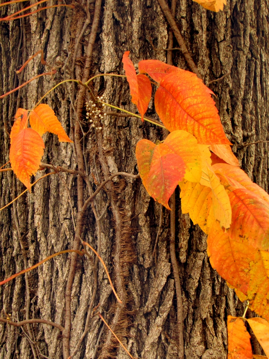 Poison ivy fall (Toxicodendron radicans)