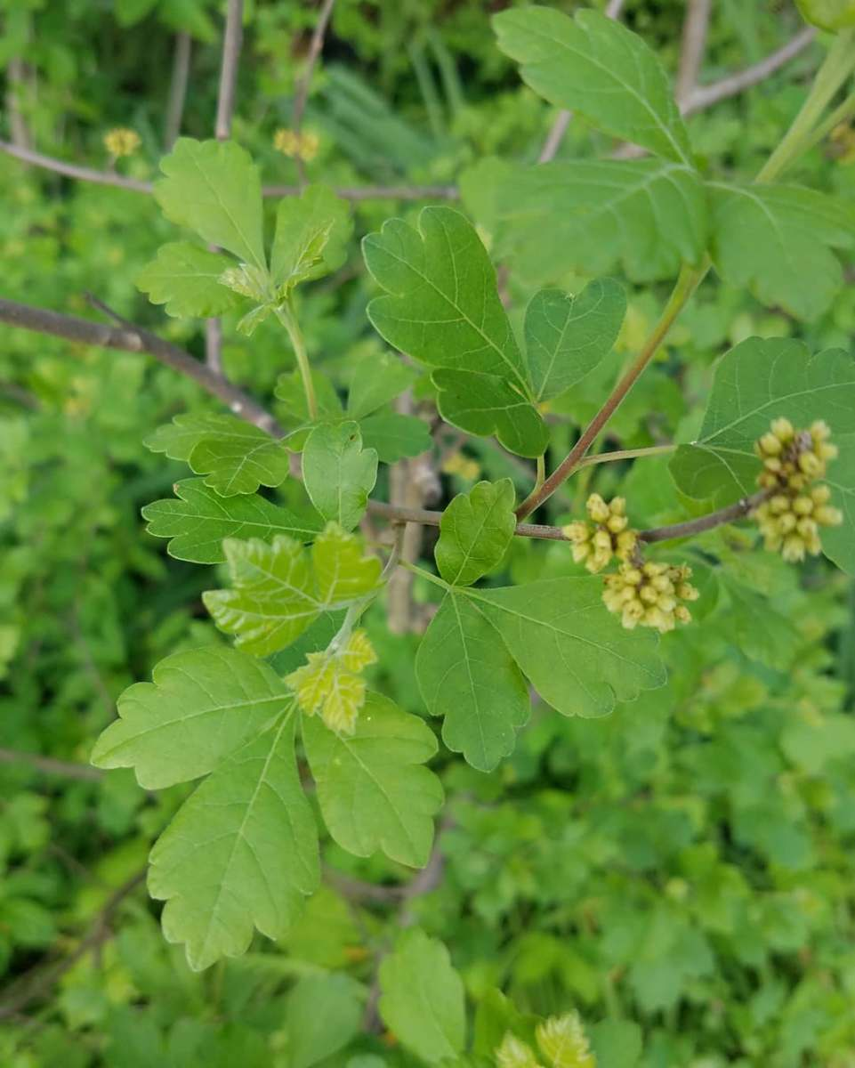 Aromatic sumac (Rhus aromatica)