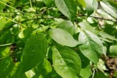 Bladdernut (Staphylea trifolia)