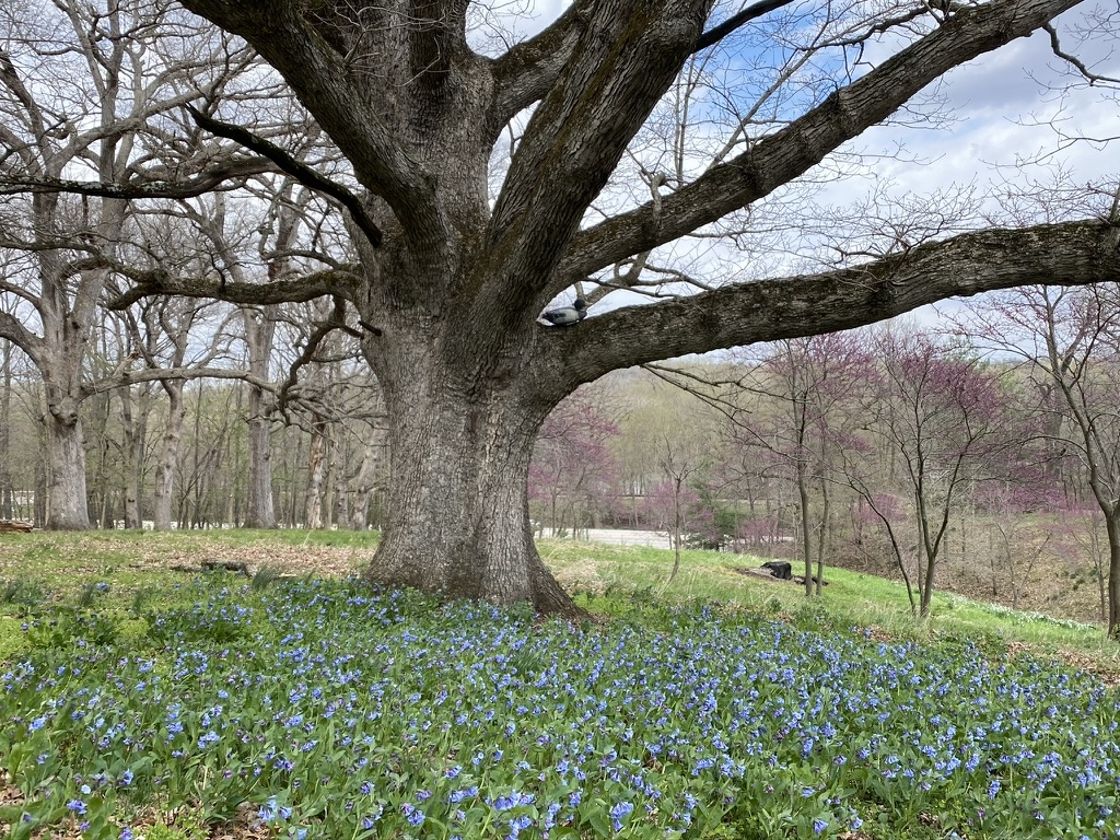 Virginia bluebells (Mertensia virginica) under stately white oak tree