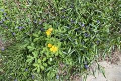 Celandine wood poppy (Stylophorum diphyllum) and common blue violet