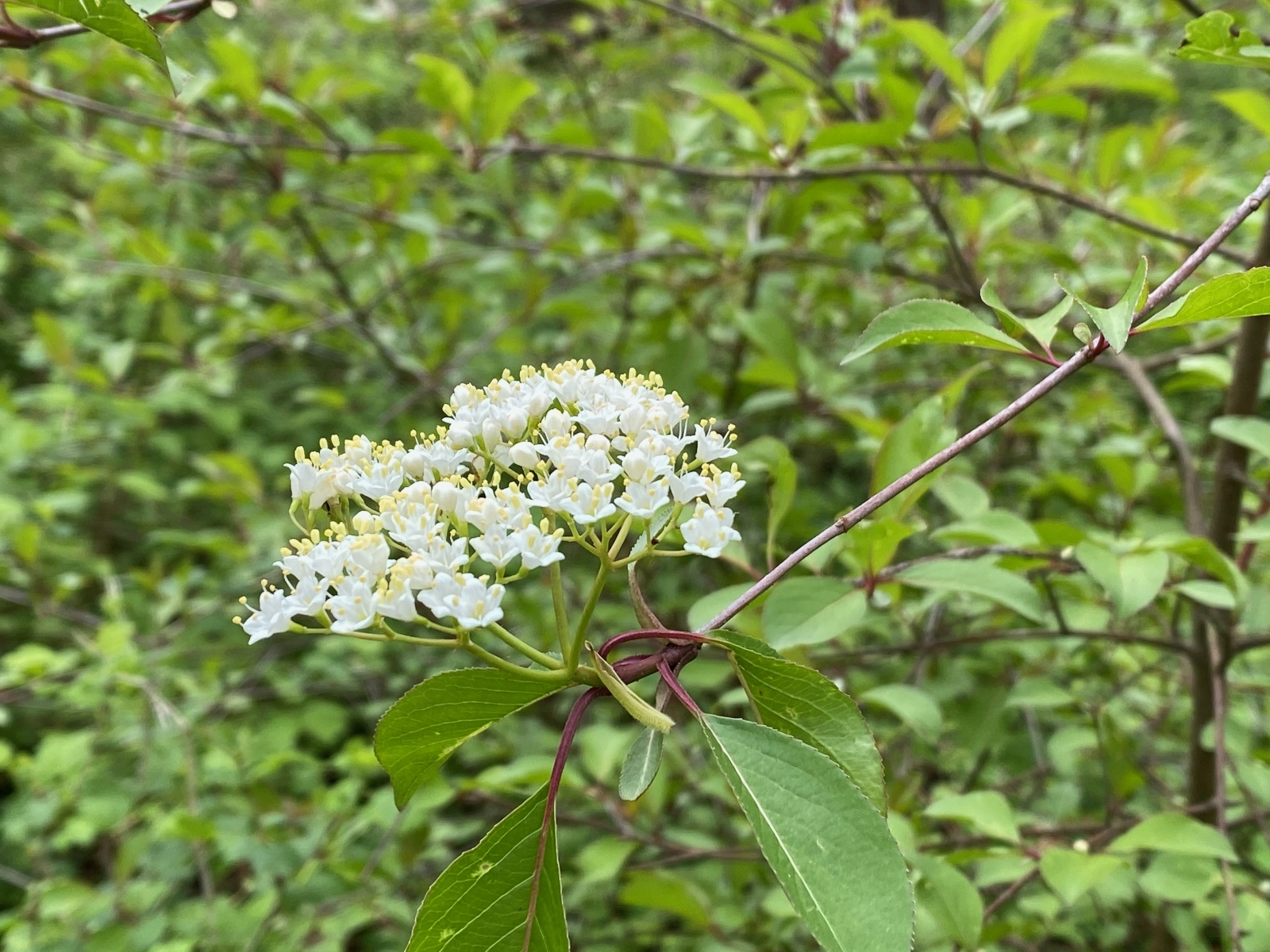 Blackhaw viburnum bloom