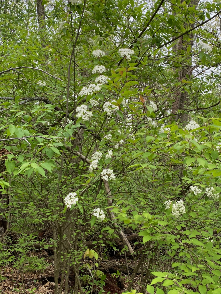 Blackhaw viburnum