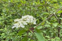 Blackhaw viburnum bloom