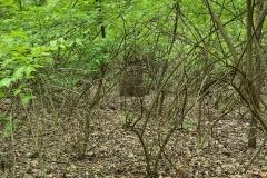 Invasive bush honeysuckle desert