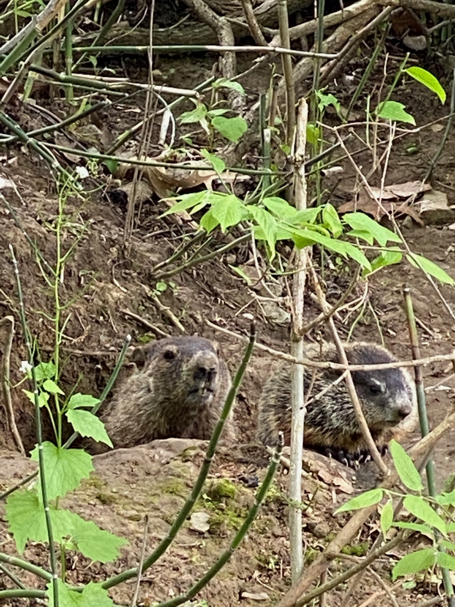 Groundhog--mom and baby