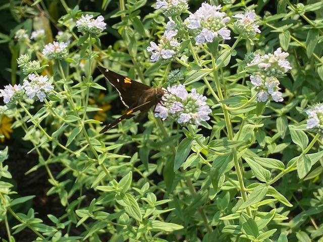 Butterfly / pollinator at work