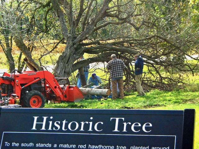Historic red hawthorn