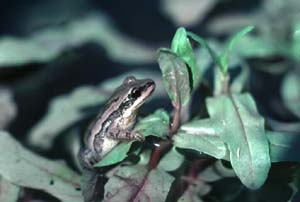 Pseudacris_feriarum-chorus frog