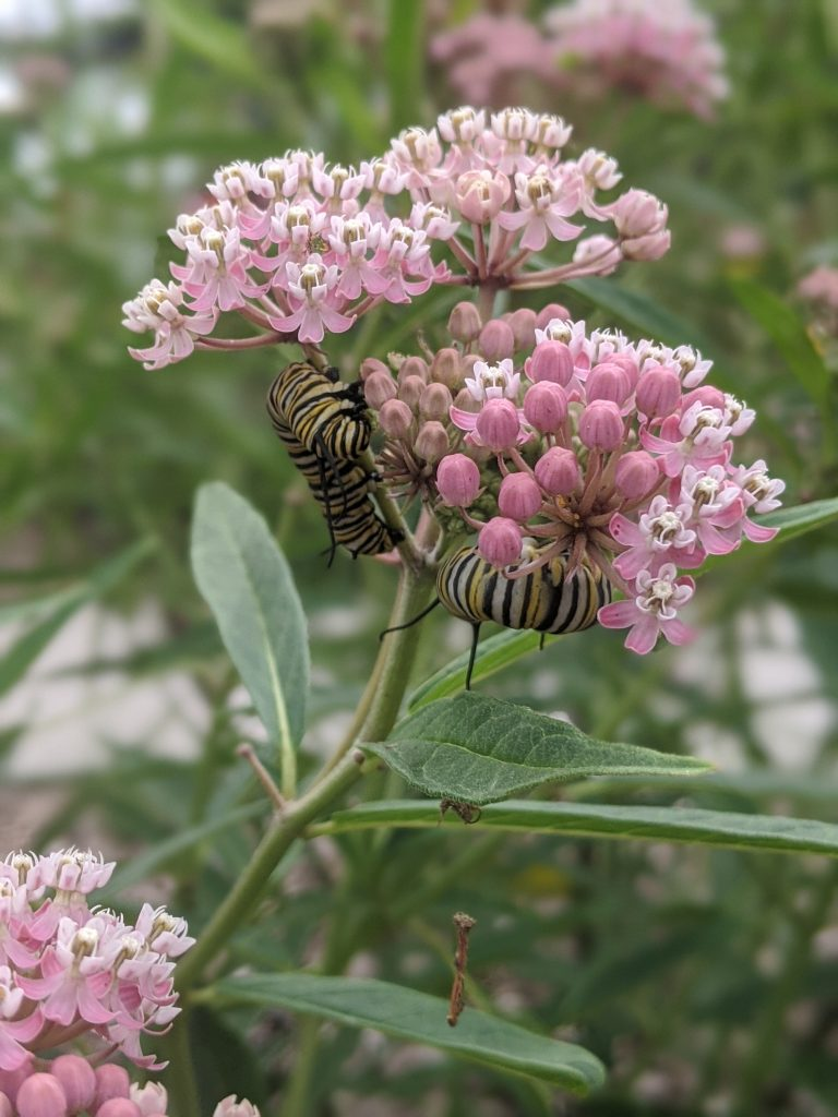 swamp milkweed and monarch larva